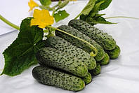 Мимино F1 семена огурца партенокарп. Lucky Seed 2 500 семян