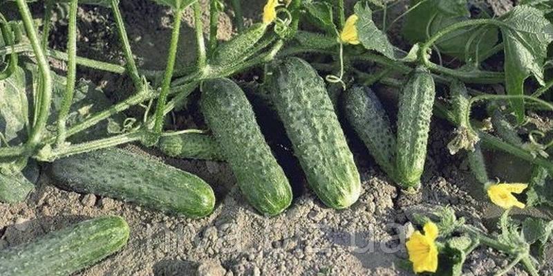 Криспина F1 семена огурца партенокарп. Nunhems 100 семян