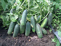 Эколь F1 семена огурца партенокарп. Syngenta 100 семян