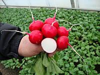 Диего F1 семена редиса красный ранний Hazera  25 000 семян