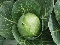 Сір F1 насіння капусти б/к ранньої Clause 1 000 насінин
