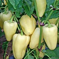 Джейд F1 семена перца сладкого Sakata 1 000 семян