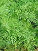 Ганак семена укропа Semo 500 г