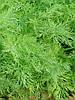 Ганак семена укропа Semo 50 г