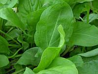Широколистный семена щавля Satimex 500 г
