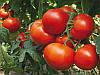 Панекра F1 семена томата Syngenta 25 семян