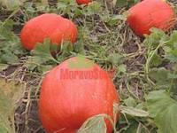 Атлант насіння гарбуза Moravoseed 1 000 г