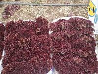Революция семена салата Лолло Россо Nunhems 1 000 семян