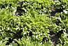 Корби (Сorbi) семена салата Эндивий Rijk Zwaan 1 000 семян