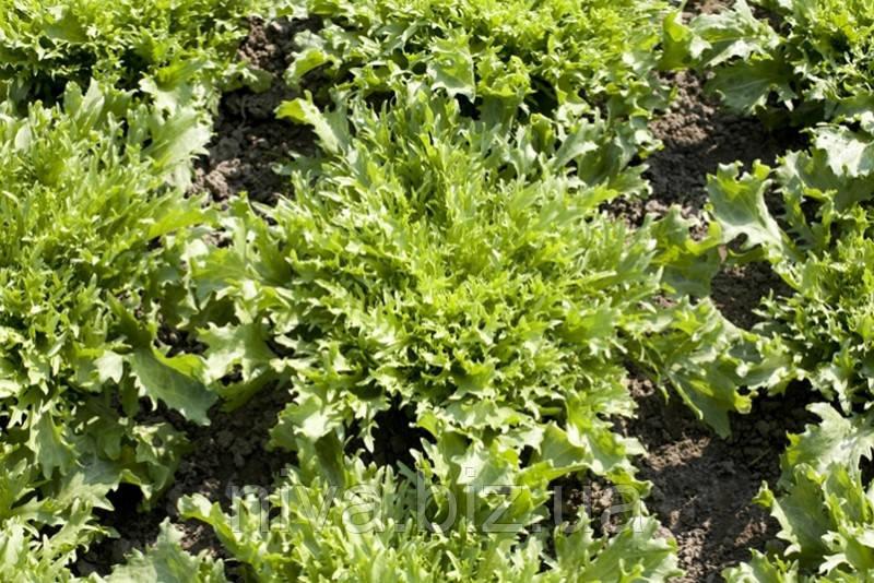 Корби (Сorbi) семена салата Эндивий Rijk Zwaan 5 000 семян