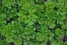 Астра семена петрушки кучерявой Moravoseed 500 г