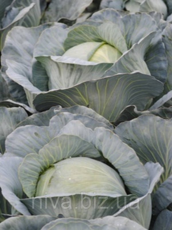 Супермаркет F1 семена капусты белокачанной поздней Lucky Seed 100 семян