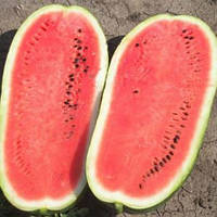Амфіон F1 насіння кавуна Takii Seeds 1 000 насінин
