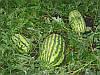 Астрахан F1 насіння кавуна Syngenta 1 000 насінин