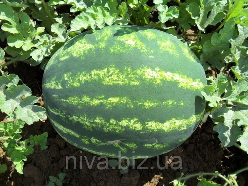 Отаман F1 насіння кавуна Hazera 1 000 насінин