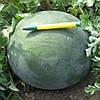 Донован F1 насіння кавуна безнасінного типу Шуга Бебі Hazera 500 насінин