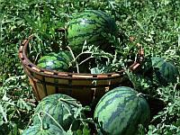 Крімсон Делайт F1 насіння кавуна типу Крімсон Світ Hollar Seeds 100 г