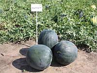 Ред Стар F1 насіння кавуна типу Шуга Бебі Nunhems 1 000 насінин