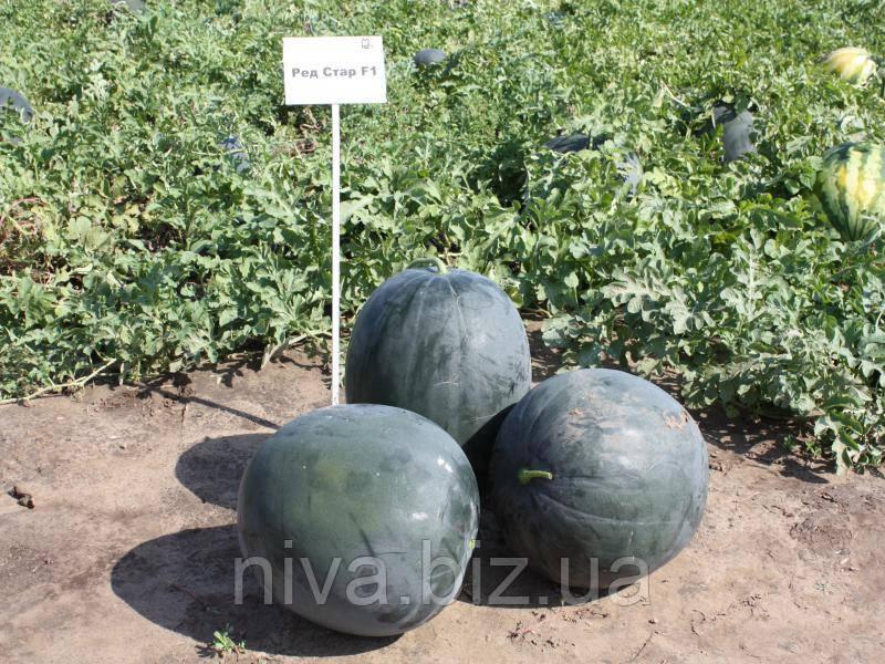 Ред Стар F1 насіння кавуна типу Шуга Бебі Nunhems 100 насінин