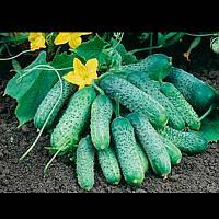 Пасамонте F1 семена огурца партенокарп. Syngenta 500 семян