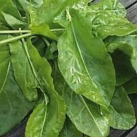 Семена щавеля широколистного 15 гр. Коуел