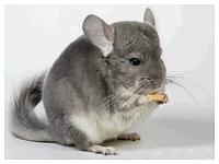 Консультация по ветеринарному лечению шиншилл, выезд специалиста