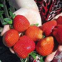 Дарселект (Darselect Strawberry) саженцы клубники фриго Дарселект
