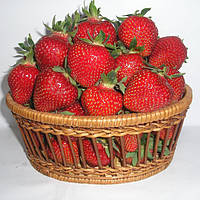 Хоней (Honeoye Strawberry) саженцы клубники фриго Хоней