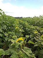 Семена подсолнечника Меркурий, 110-115 дней
