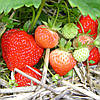 Кимберли (Kimberly Strawberry) саженцы клубники фриго Кимберли