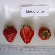 Маделайн (Madeleine Strawberry) саженцы клубники фриго Маделайн