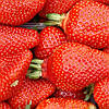 Азия (Asia Strawberry) саженцы клубники фриго Азия