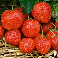 Эльсанта (Elsanta Strawberry) саженцы клубники фриго Эльсанта