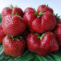 Вима Тарда ( Vima Tarda Strawberry) саженцы клубники фриго Вима Тарда