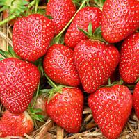 Мальвина (Malwina Strawberry) саженцы клубники фриго Мальвина