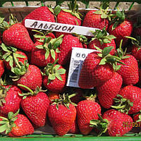 Альбион (Albion Strawberry) саженцы клубники фриго Альбион