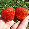 Портола (Portola Strawberry) саженцы клубники фриго Портола