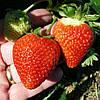 Сан Андреас (San Andreas Strawberry) саженцы клубники фриго Сан Андреас