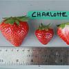 Шарлотта (Charlotte Strawberry) саженцы клубники фриго Шарлотта