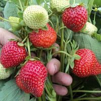 Капри (Capri Strawberry) саженцы клубники фриго Капри