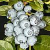 Дюк Голубика (Duke Blueberry) саженцы голубики Дюк