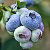 Чандлер Голубика (Chandler Blueberry) саженцы голубики Чандлер