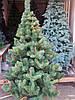 Елка Юлия с коричневыми и зелеными паростками 1,5м