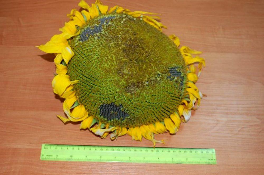 Семена подсолнечника под гранстар Антей, 107-111 дней