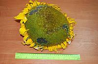 Семена подсолнечника под гранстар Антей, экстра фракция, 107-111 дней