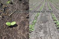 Семена подсолнечника под евролайтнинг Богдан, 112-118 дней