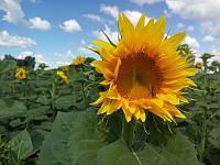 Семена подсолнечника под евролайтнинг Богдан, 112-118 дней, фото 1