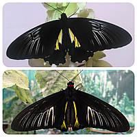 Живая тропическая бабочка Troides radamanthus.