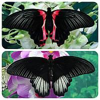 Живая тропическая бабочка Papilio rumanzovia.