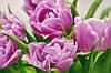 "Бумажные фотообои ""Тюльпаны"" 207х144 см"